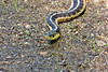 Garter Snake at Bellamy River Wildlife Management Area